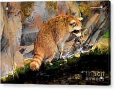 Raccoon 609 Acrylic Print