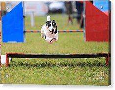 Racing Dog For Agility Acrylic Print