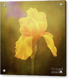 Radiant Yellow Iris With A Vintage Touch Acrylic Print