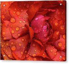 Rain On Ranunculus Acrylic Print