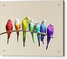 Rainbow Row Of Budgies Sat On A Branch Acrylic Print by Walker And Walker