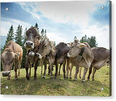 Rambunctious Swiss Cows With Cow Bells Acrylic Print by Guy Midkiff