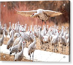 Ready Or Not, Here I Come -- Sandhill Cranes Acrylic Print