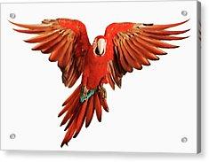 Red-and-green Macaw Ara Chloroptera Acrylic Print by Martin Harvey