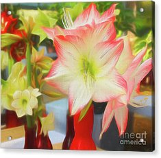 Red And White Amaryllis Acrylic Print
