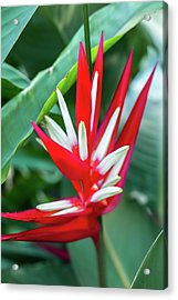 Red And White Birds Of Paradise Acrylic Print