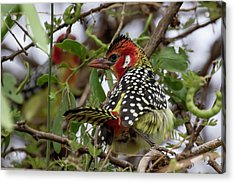 Red-and-yellow Barbet Acrylic Print