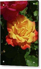 Red And Yellow Rio Samba Roses Acrylic Print