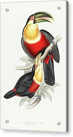 Red-breasted Toucan Acrylic Print