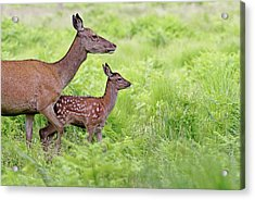 Red Deer Doe And Fawn Acrylic Print by Mcdonald P. Mirabile