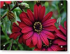 Red Flower - 19-5611 Acrylic Print