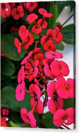 Red Flowers In Bloom Acrylic Print