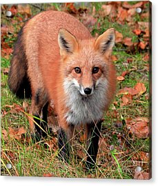Acrylic Print featuring the photograph Red Fox by Debbie Stahre