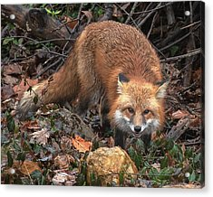 Acrylic Print featuring the photograph Red Fox Dmam0049 by Gerry Gantt