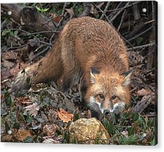 Acrylic Print featuring the photograph Red Fox Dmam0050 by Gerry Gantt