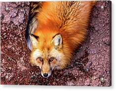 Red Fox In Canyon, Arizona Acrylic Print