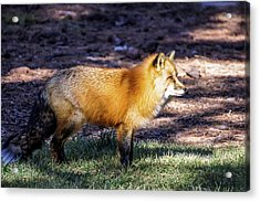 Acrylic Print featuring the photograph Red Fox In Morning Sun by Dawn Richards