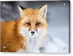 Red Fox, Vulpes Vulpes, In A Snowy Acrylic Print