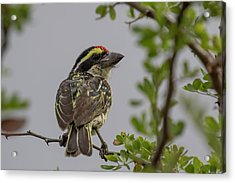 Red-fronted Barbet Acrylic Print
