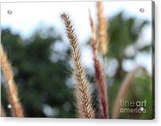 Red Grass - Pennisetum Setaceum 'rubrum' Acrylic Print
