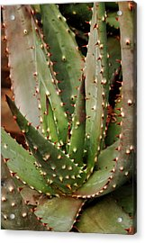 Red-hot Poker Aloe Aloe Aculeata Acrylic Print by Photos Lamontagne