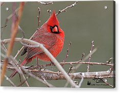 Red In Winter Acrylic Print