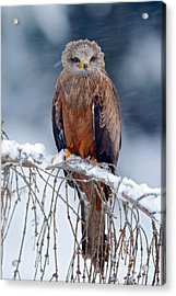 Red Kite, Milvus Milvus, Sitting On The Acrylic Print