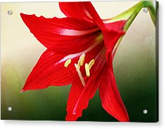 Red Lily Flower Acrylic Print