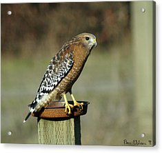 Acrylic Print featuring the photograph Red-shouldered Hawk by Ben Upham III