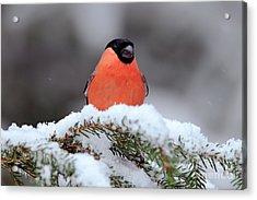 Red Songbird Bullfinch Sitting On Snowy Acrylic Print