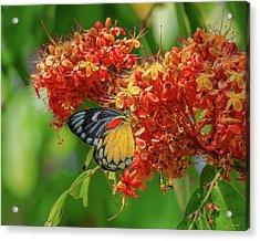 Acrylic Print featuring the photograph Red-spot Jezebel Butterfly Dthn0235 by Gerry Gantt