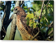 Red-tailed Hawk Looking Down From Tree Acrylic Print