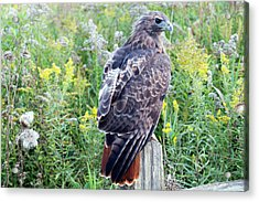 Red-tailed Hawk On Fence Post Acrylic Print