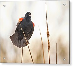 Red-winged Blackbird Claims His Spot Acrylic Print