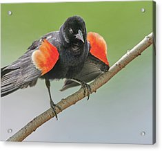Red-winged Blackbird Shows His Colors Acrylic Print