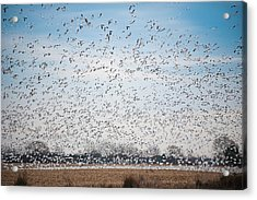 Resting On The Flyway Acrylic Print