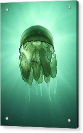 Rhizostoma Pulmo Jellyfish Acrylic Print