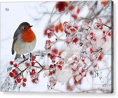Robin And Berries Acrylic Print