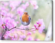 Robin On Pink Flowers Acrylic Print