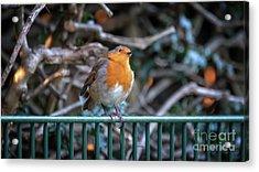 Robin Perched On A Rail Acrylic Print