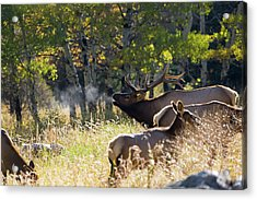Acrylic Print featuring the photograph Rocky Mountain Bull Elk Bugeling by Nathan Bush