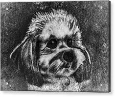 Rocky The Dog Portrait Acrylic Print