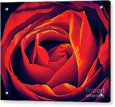 Rose Ablaze Acrylic Print