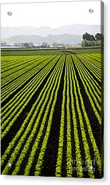 Rows Of Freshly Planted Lettuce In The Acrylic Print by Dwight Smith