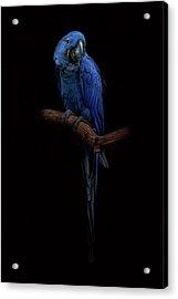 Royal Blue Beauty  Acrylic Print