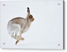 Running Mountain Hare Lepus Timidus Acrylic Print