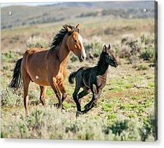 Running Wild Mustangs - Mom And Baby Acrylic Print