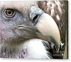 Ruppells Griffon Vulture Acrylic Print