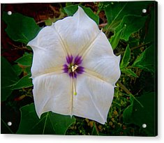 Acrylic Print featuring the photograph Sacred Datura - Full Bloom by Judy Kennedy
