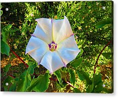 Acrylic Print featuring the photograph Sacred Datura In The Golden Hour by Judy Kennedy